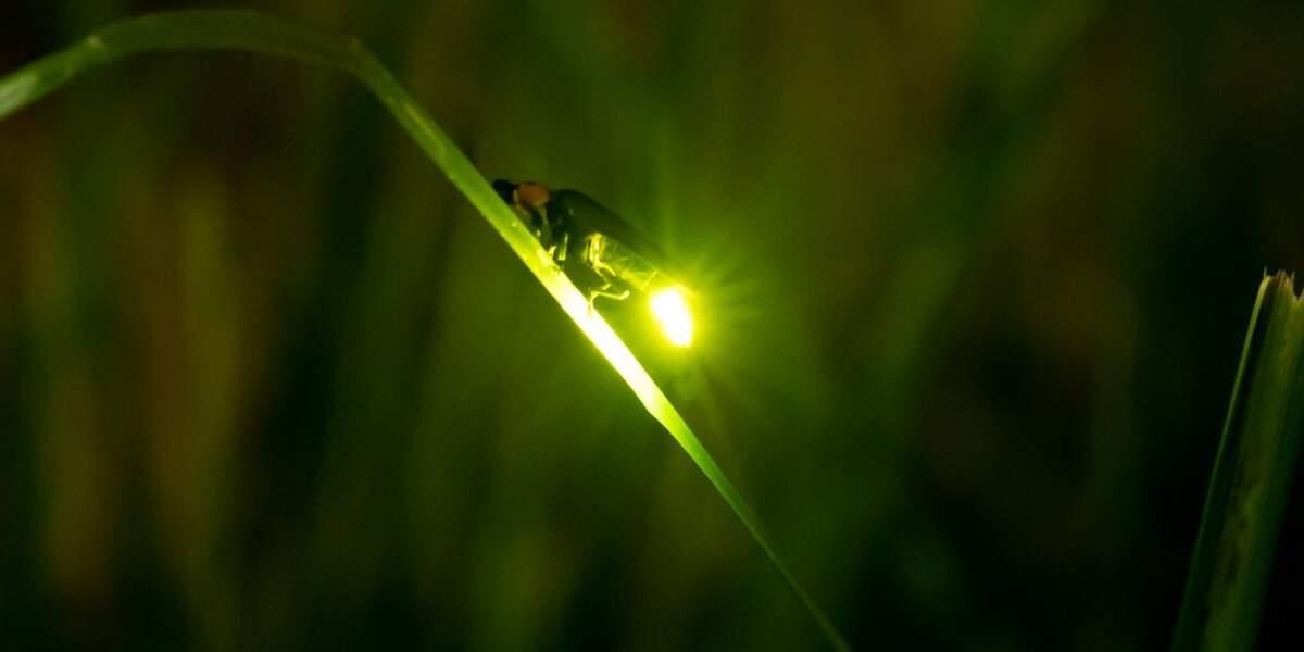 Işık yayan bir ateş böceği