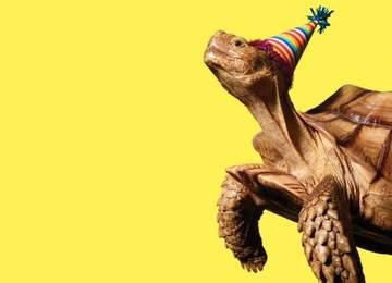yaşlı kaplumbağa doğumgünü