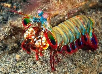 Mantis Karidesi