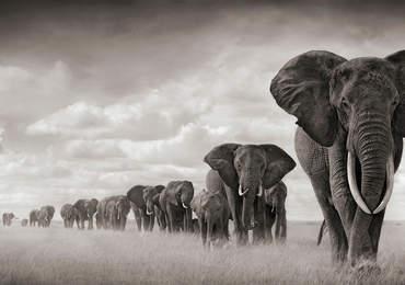 Fillerin ehlileştirilmesi