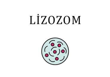 Lizozom Organeli