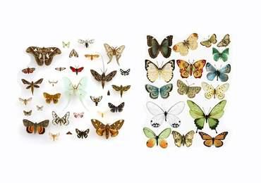 Güve ve Kelebek
