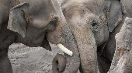 Konuşan Filler