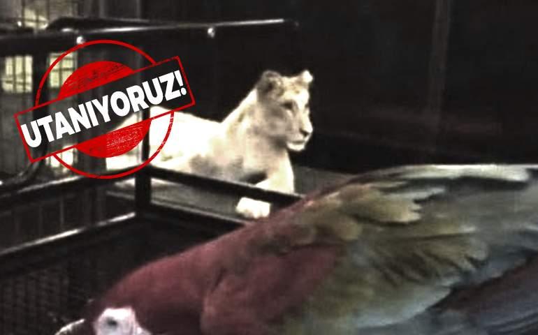 istanbul'da bir kafede aslan sergiliyorlar
