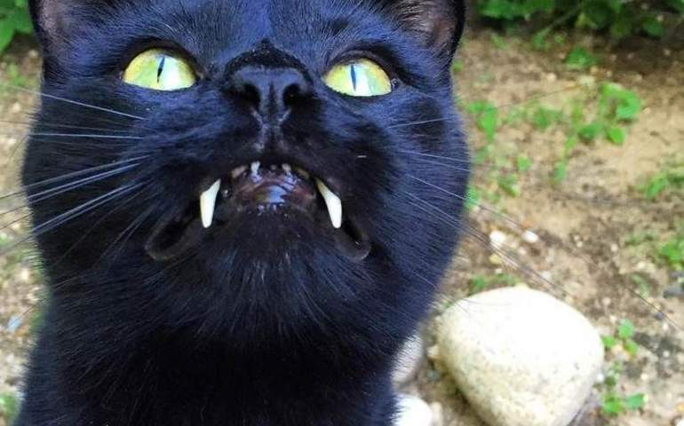 Vampir Dişli Kedi