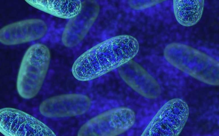 Mitokondriler