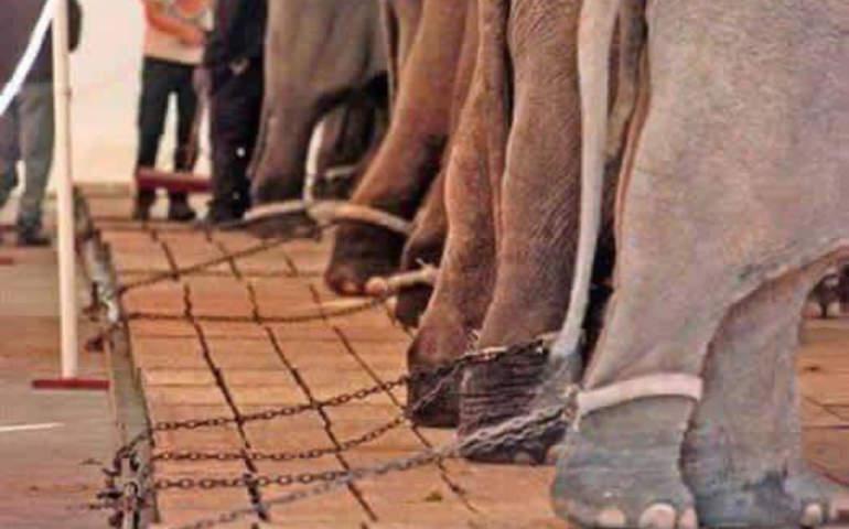 Öğrenilmiş çaresizliğin en açıklayıcı örneklerinden birisi olan filler ile olay belirtilmiş