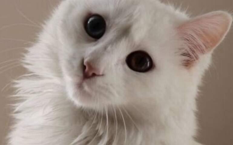 Vancat Umut (Beyaz bir kedi)