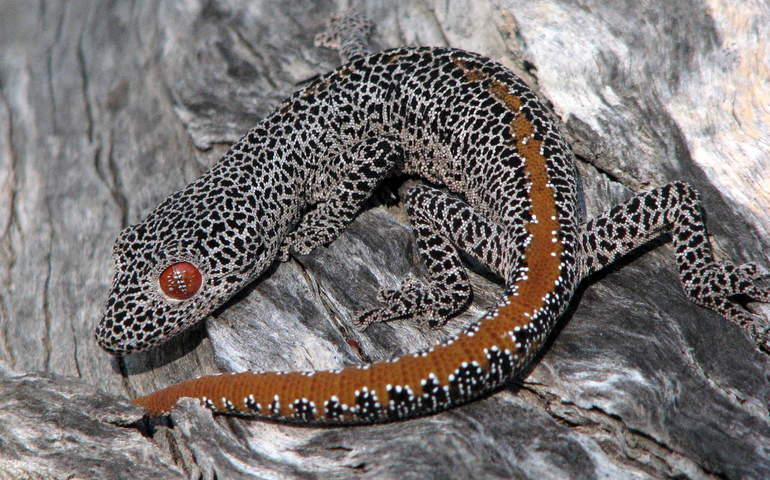 Altın Kuyruklu Gecko